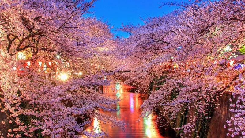 cherry-blossoms-in-japan
