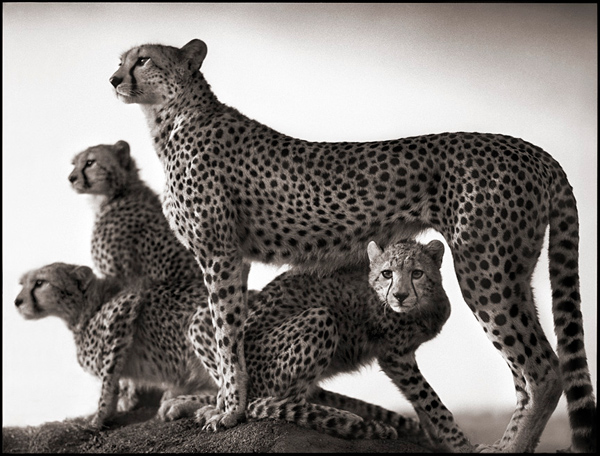 cheetah-and-cubs