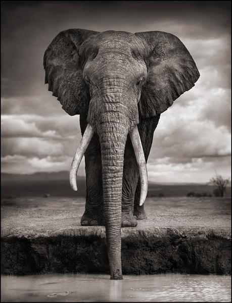 elephant-drinking