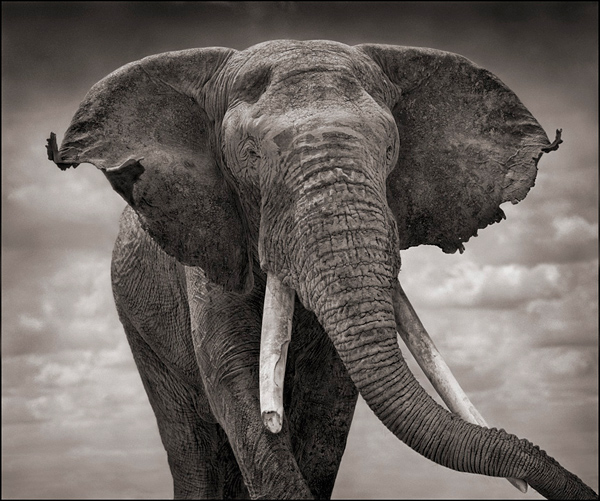 elephant-with-tattered-ears-l