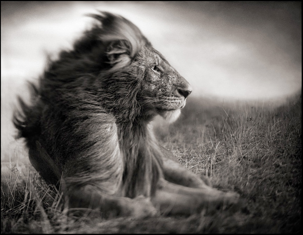lion-before-storm-ii-sitting-profile